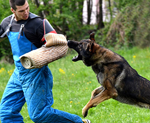 Security Dogs With Guard Training In Queensland